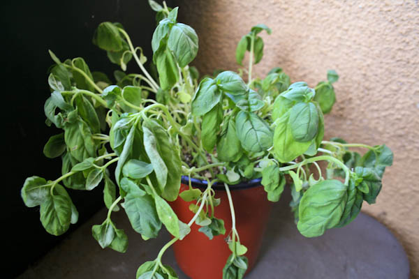 Wilted Basil Plant Before Being Watered