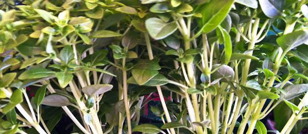 Boxwood Basil (Ocimum Basilicum Boxwood)