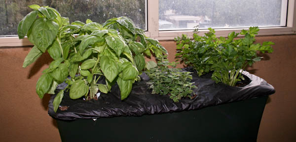 Growing herbs and basil in an EarthBox