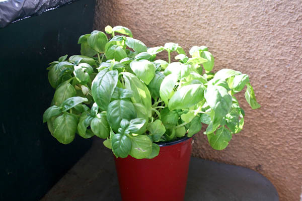 Wilted to healthy basil only a few hours after watering