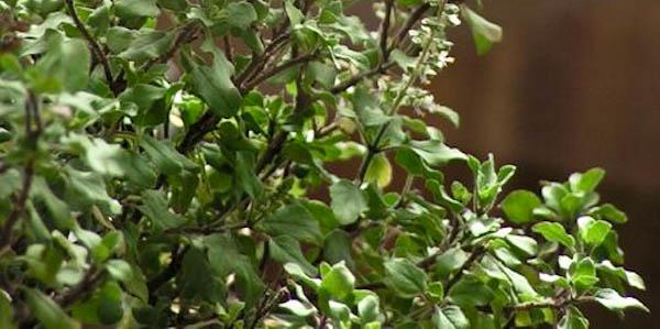 Holy Basil (Ocimum Tenuiflorum)