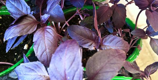 Purple Basil (Ocimum Basilicum Purpurascens)