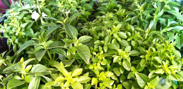 Spicy Globe Basil (Ocimum Basilicum Spicy Globe)