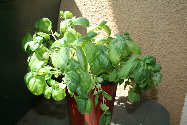 Wilted basil plant coming back to life after an hour